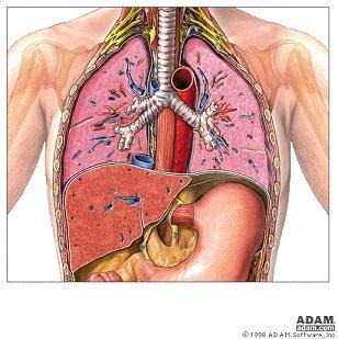 polmoni.jpg